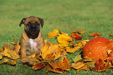 Staffordshire Bull Terrier (Canis familiaris) puppy amid autumn leaves  -  Mark Raycroft