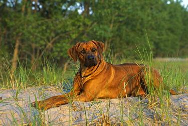 Rhodesian Ridgeback (Canis familiaris) laying down  -  Mark Raycroft