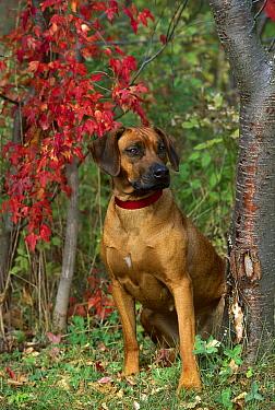 Rhodesian Ridgeback (Canis familiaris) adult portrait  -  Mark Raycroft