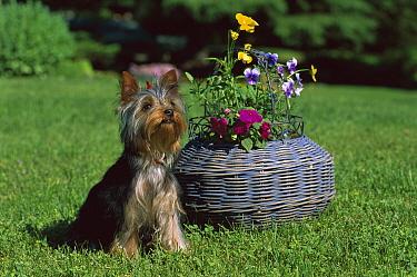 Yorkshire Terrier (Canis familiaris) puppy sitting beside basket  -  Mark Raycroft