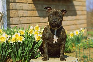Staffordshire Bull Terrier (Canis familiaris) brindled coat sitting amid daffodils  -  Mark Raycroft
