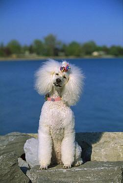 Standard Poodle (Canis familiaris) portrait  -  Mark Raycroft