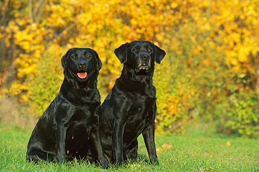 Black Labrador Retriever (Canis familiaris) pair sitting near autumn leaves  -  Mark Raycroft
