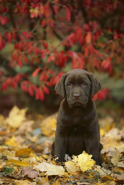 Chocolate Labrador Retriever (Canis familiaris) puppy in fallen leaves  -  Mark Raycroft