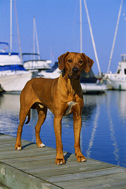 Rhodesian Ridgeback (Canis familiaris) male standing on dock  -  Mark Raycroft