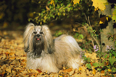 Lhassa Apso (Canis familiaris) standing on fallen leaves  -  Mark Raycroft