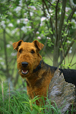 Airedale Terrier (Canis familiaris) adult  -  Mark Raycroft