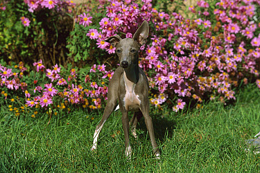 Italian Greyhound (Canis familiaris) puppy standing in front of asters  -  Mark Raycroft