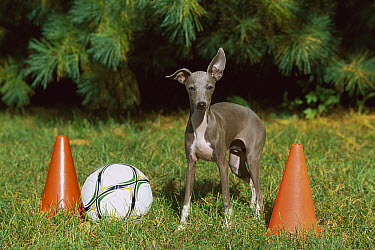 Italian Greyhound (Canis familiaris) puppy with soccer equipment  -  Mark Raycroft