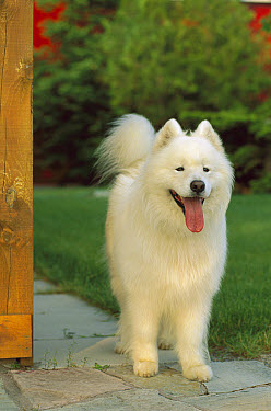 Samoyed (Canis familiaris) adult standing on sidewalk  -  Mark Raycroft