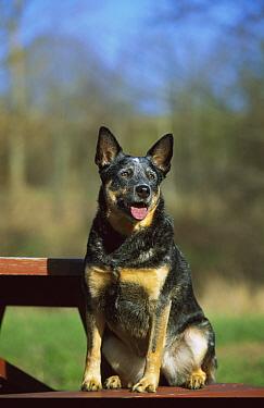 Australian Cattle Dog (Canis familiaris) adult sitting on picnic bench  -  Mark Raycroft
