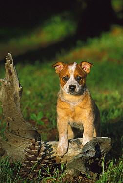Australian Cattle Dog (Canis familiaris) puppy  -  Mark Raycroft