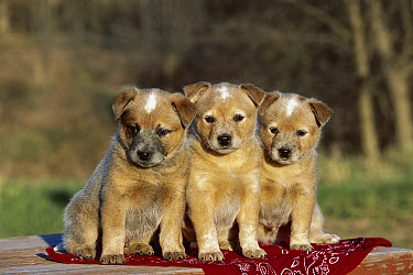 Australian Cattle Dog (Canis familiaris) group of puppies  -  Mark Raycroft