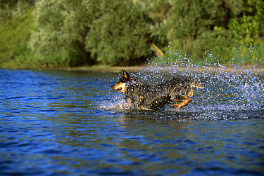 Australian Cattle Dog (Canis familiaris) playing in water  -  Mark Raycroft