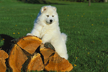 Samoyed (Canis familiaris) puppy on log pile  -  Mark Raycroft