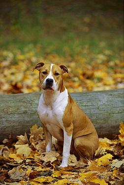 American Pit Bull Terrier (Canis familiaris) sitting in fallen leaves  -  Mark Raycroft