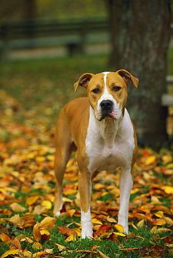 American Pit Bull Terrier (Canis familiaris) standing in fallen leaves  -  Mark Raycroft