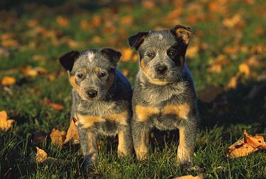 Australian Cattle Dog (Canis familiaris) puppies  -  Mark Raycroft
