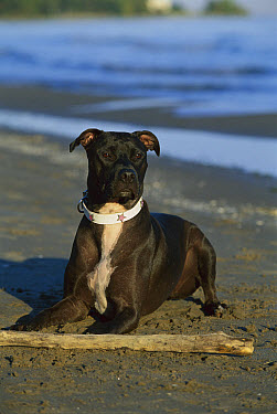American Pit Bull Terrier (Canis familiaris) playing with stick on beach  -  Mark Raycroft
