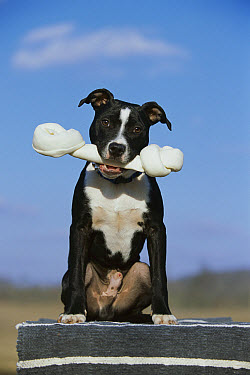 American Pit Bull Terrier (Canis familiaris) with bone  -  Mark Raycroft