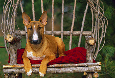 Bull Terrier (Canis familiaris) puppy sitting  -  Mark Raycroft