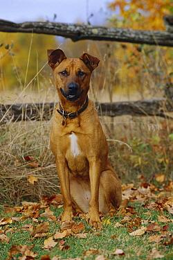 Mixed breed dog (Canis familiaris) sitting  -  Mark Raycroft