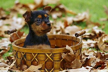 Australian Terrier (Canis familiaris) puppy in a basket  -  Mark Raycroft