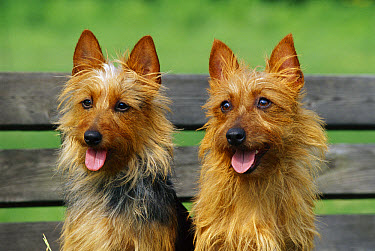 Australian Terrier (Canis familiaris) pair sitting on bench  -  Mark Raycroft