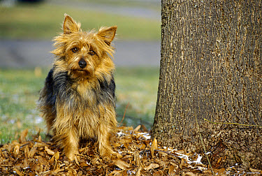 Australian Terrier (Canis familiaris) portrait standing near tree trunk  -  Mark Raycroft