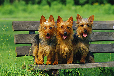 Australian Terrier (Canis familiaris) trio sitting on bench  -  Mark Raycroft
