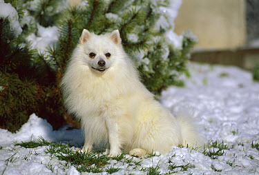 American Eskimo Dog (Canis familiaris) miniature  -  Mark Raycroft