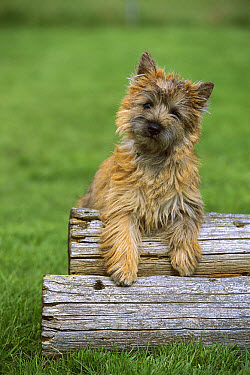Cairn Terrier (Canis familiaris) puppy leaning on logs  -  Mark Raycroft