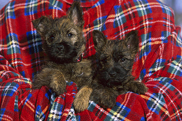 Cairn Terrier (Canis familiaris) puppy pair in blanket  -  Mark Raycroft