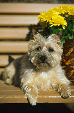 Cairn Terrier (Canis familiaris) resting on deck  -  Mark Raycroft