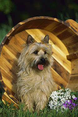 Cairn Terrier (Canis familiaris) in over-turned bucket  -  Mark Raycroft