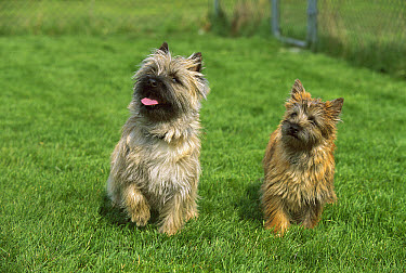 Cairn Terrier (Canis familiaris) mother and puppy  -  Mark Raycroft
