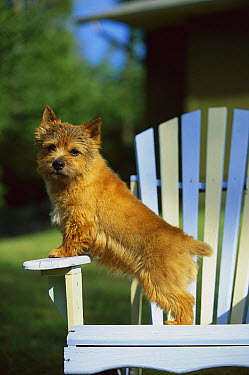Norwich Terrier (Canis familiaris) puppy standing in a chair  -  Mark Raycroft