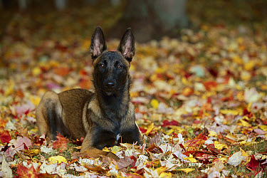 Belgian Malinois (Canis familiaris) puppy laying in leaves  -  Mark Raycroft