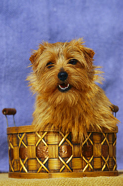 Norfolk Terrier (Canis familiaris) portrait in basket  -  Mark Raycroft