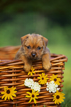 Norfolk Terrier (Canis familiaris) puppy in basket  -  Mark Raycroft