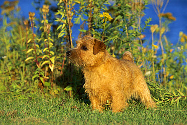 Norfolk Terrier (Canis familiaris) portrait on lawn  -  Mark Raycroft