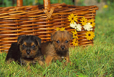 Norfolk Terrier (Canis familiaris) pair of puppies  -  Mark Raycroft