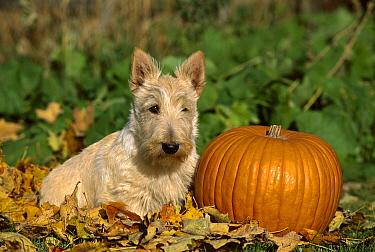 Scottish Terrier (Canis familiaris) puppy next to pumpkin  -  Mark Raycroft