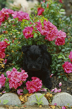 Scottish Terrier (Canis familiaris) puppy in flower bed amid Roses  -  Mark Raycroft