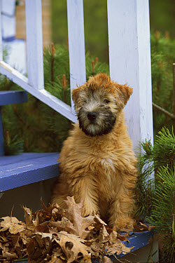 Soft Coated Wheaten Terrier (Canis familiaris) puppy on stairs  -  Mark Raycroft