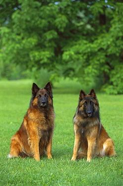 Belgian Tervuren (Canis familiaris) adult pair sitting on lawn  -  Mark Raycroft