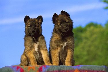 Belgian Tervuren (Canis familiaris) puppy  -  Mark Raycroft