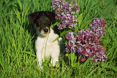 Smooth Fox Terrier (Canis familiaris) puppy sitting beside lilac flowers  -  Mark Raycroft
