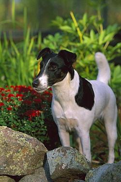 Smooth Fox Terrier (Canis familiaris) adult in garden  -  Mark Raycroft