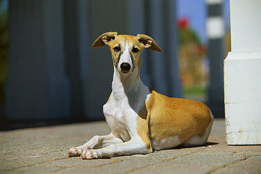 Whippet (Canis familiaris) adult resting on deck  -  Mark Raycroft